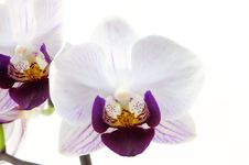 Free Single White Orchid With Purple Pattern Stock Image - 13928201