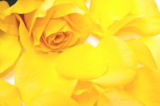 Free One Rose Royalty Free Stock Images - 13928209