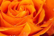 Free Orange Rose Royalty Free Stock Photos - 13928368