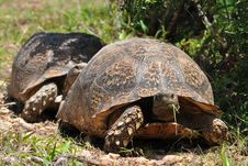 Free Big Leopard Tortoise Stock Photography - 13929242