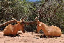 Free Pair Of Red Hartebeest Royalty Free Stock Photo - 13929265