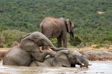 Free Young Elephants Romping Hapilly At Watering Place Stock Photography - 13929292