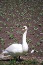 Free Swan Royalty Free Stock Image - 13930396