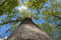 Free Top Of  Maple Trees Royalty Free Stock Photography - 13934637