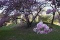 Free Japanese Cherry Tree Royalty Free Stock Photos - 13934868