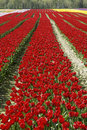 Free Rows Red Tulips Royalty Free Stock Photo - 13935515