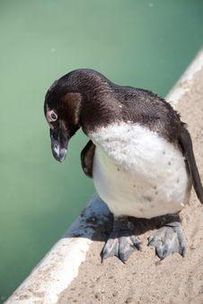 Free Penguin Stock Photo - 13930470