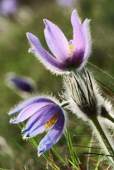 Free Flowers Of Pasqueflower Stock Photos - 13930593
