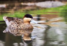 Free Silver Teal - Anas Versicolor Stock Images - 13930644