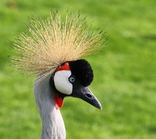 Free Head Of Grey Crowned Crane Stock Image - 13930661