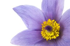 Fresh Spring Pasque Flower Stock Photography