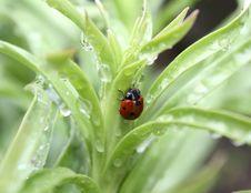 Free Ladybug Stock Photo - 13931810