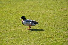 Free Ducks Waiting Stock Images - 13932624