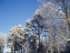 Free Pine Trees In Winter Royalty Free Stock Photos - 13933028