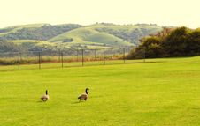 Free Ducks In The Field Royalty Free Stock Image - 13933396