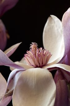 Free Magnolia Blossom Royalty Free Stock Photo - 13934845