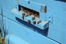 Free The Worker Bees In The Hive Blue Royalty Free Stock Image - 13934926