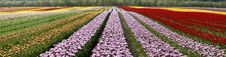 Free Spring Tulip Fields Panorama Royalty Free Stock Photos - 13935098