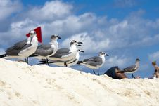 Free Saguls Sitting On A Shore Royalty Free Stock Images - 13935439