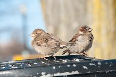 Free Sparrows On Trashcan Royalty Free Stock Photos - 13935448