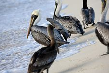 Free Pelicans Are Walking On A Shore Stock Photos - 13935513