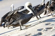Free Pelicans Are Walking On A Shore Royalty Free Stock Photo - 13935525
