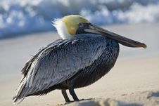 Free Pelican Is Walking On A Shore Stock Image - 13935541