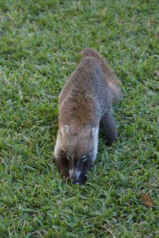 Free Cozumel Raccoon Seaking For Food Stock Image - 13935571