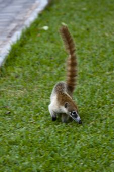 Free Cozumel Raccoon Seaking For Food Stock Photography - 13935592