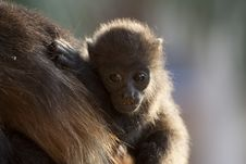 Free Baby Monkey On Mothers Back Royalty Free Stock Image - 13935596