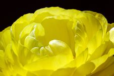Free Yellow Ranunculus Royalty Free Stock Photos - 13935828