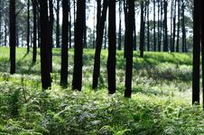 Free Pine Forest Royalty Free Stock Images - 13937789