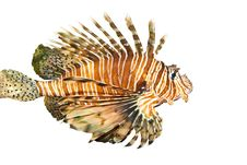 Volitan Lionfish In Aquarium Royalty Free Stock Photography