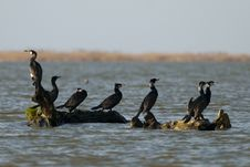 Free Great Cormorant On A Log Royalty Free Stock Images - 13937909