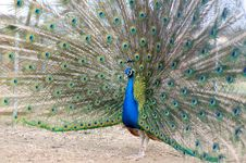 Free Beautiful Peacock. Stock Photo - 13937990
