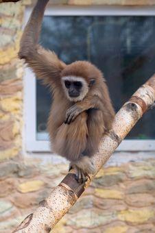 Free Gibbon Monkey Royalty Free Stock Images - 13938189