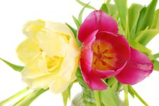 Two Bright Tulips Stock Photos