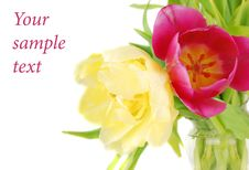 Free Two Bright Tulips Royalty Free Stock Photos - 13938908