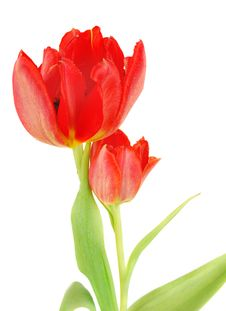 Free Two Bright Tulips Stock Photo - 13938920