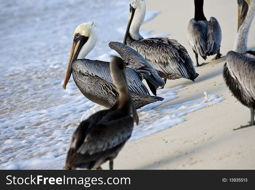 Pelicans are walking on a shore