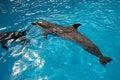 Free Dolphin Royalty Free Stock Photos - 13941088