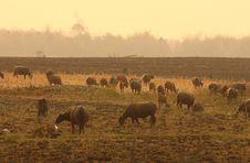 A Group Of Buffalo Royalty Free Stock Photos