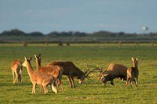 Free Wildlife - Red Deer Stock Photos - 13940443