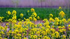 Free Yellow  Rape Stock Image - 13941691