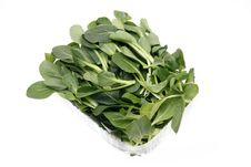 Free Rape Seedlings Stock Image - 13942131