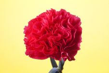 Free Carnation Royalty Free Stock Photo - 13942205