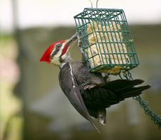 Hungry Pileated Woodpecker Royalty Free Stock Photos