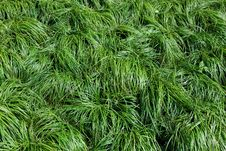 Free Green Grass Texture Royalty Free Stock Images - 13942919
