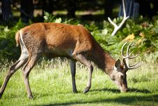 Free Royal Stag Grazing In Forest Stock Photos - 13942933