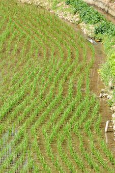 Free Rice Field Royalty Free Stock Photo - 13943025
